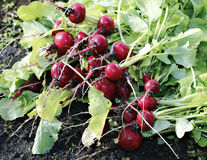Fresh red radishes with leaves. Growing in the garden Royalty Free Stock Photography