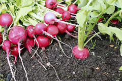 Fresh red radishes with leaves and growing radish plant. In the garden Stock Images
