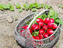 Fresh red radishes with leaves and growing radish plant in the garden. Sunny day Royalty Free Stock Photography
