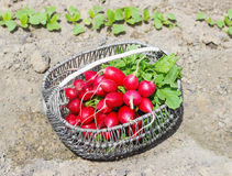 Fresh red radishes with leaves and growing radish plant in the garden. Sunny day Stock Image
