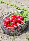 Fresh red radishes with leaves and growing radish plant in the garden Stock Photos