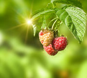 Fresh red rasberry on green Royalty Free Stock Photography