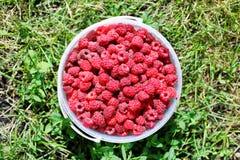 Fresh red raspberries in plastic bucket. Fresh red raspberries in a plastic bucket on an green grass Royalty Free Stock Photo