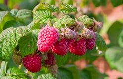 Fresh red raspberries. Stock Photos