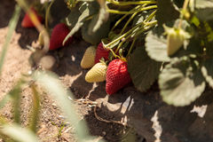 Fresh red ripe strawberries grow in a garden on a small organic Stock Photography