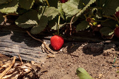 Fresh red ripe strawberries grow in a garden on a small organic Royalty Free Stock Images