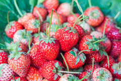 Fresh red ripe strawberries Royalty Free Stock Photography
