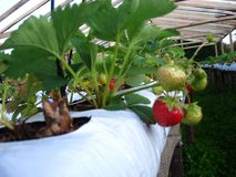 Fresh red riped strawberries ready to be picked up. Fresh new strawberry plants just starting to grow inside the greenery Royalty Free Stock Photo