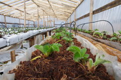 Fresh red riped strawberries ready to be picked up. Fresh new strawberry plants just starting to grow inside the greenery, greenhouse . growing inside on lifted Royalty Free Stock Images