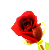 Fresh red rose Stock Images