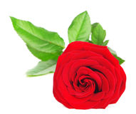 Fresh red rose Royalty Free Stock Photo