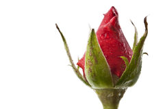 Fresh red rose Stock Photos