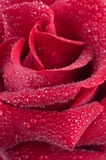 Fresh red Rose Royalty Free Stock Photos
