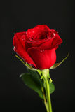Fresh red rose with drops on the black background Royalty Free Stock Photos