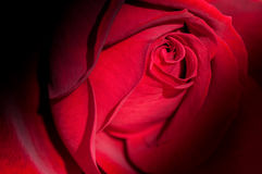 Fresh red rose flower close up Royalty Free Stock Photo