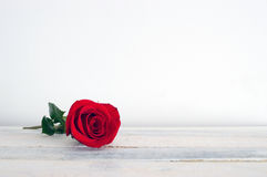 Fresh red rose flower on the white wooden shelf. Stock Image