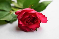 Fresh red rose flower on the white wooden shelf. White background. royalty free stock images