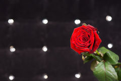Fresh Red Rose in Front Sparkling Black Background Stock Image