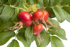 Fresh red rose hips and leaves Royalty Free Stock Photography