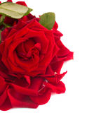 Fresh red rose with petals border Stock Photography