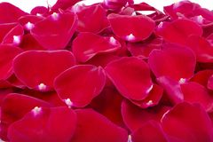 Fresh red rose petals. Pile of red rose petals on white background royalty free stock image
