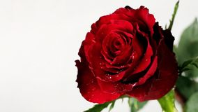 Fresh red rose on Valentine Day. On white background stock footage