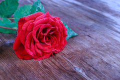 Fresh red rose with waterdrops on petals lying on a wooden Royalty Free Stock Image