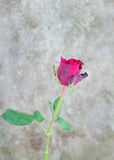 Fresh red rose on wooden background. Valentines Day Royalty Free Stock Images
