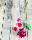 Fresh red rose on wooden background. Royalty Free Stock Photography