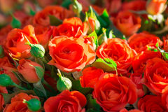 Fresh red roses with green leaves Stock Photos