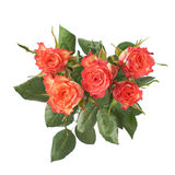 Fresh red roses over the white isolated background Royalty Free Stock Images