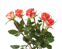 Fresh red roses over the white isolated background Royalty Free Stock Photos