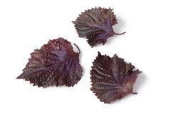 Fresh red shiso leaves Royalty Free Stock Photo