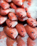 Fresh Red Snapper. Packed in Ice Stock Images