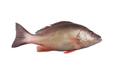 Fresh red Snapper fish or Lutjanus campechanusfish Stock Photos