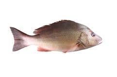 Fresh red Snapper fish or Lutjanus campechanusfish  Royalty Free Stock Images