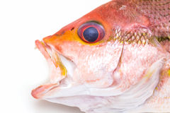 Fresh Red Snapper Fish. Stock Photos
