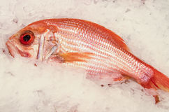 Fresh red snapper on ice. Closeup of fresh red snapper on ice for sale at a fish market Royalty Free Stock Image