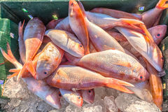 Fresh red snapper on ice hold. Fresh red snapper on ice kept pending transportation going to market, this is more nutritious food for everyone, for fried fish Royalty Free Stock Photos