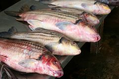 Fresh red snapper at the market, Asian cuisine  Royalty Free Stock Photos