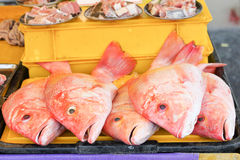 Fresh red snapper Stock Photography