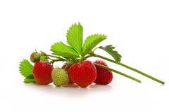 Fresh red strawberries Stock Image