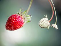 Fresh red strawberries. Wild small strawberry of the woods stock image