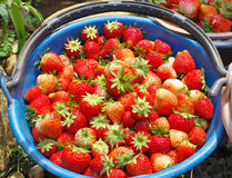 Fresh red strawberry. From orchard in bucket Stock Photography