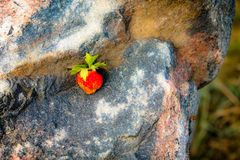 Strawberry is a multi nut. royalty free stock photos