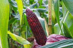 Fresh red sweet corn Stock Images