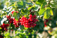 Fresh red tasteful berry hanging on the bush Royalty Free Stock Image