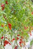 Fresh red tomato Royalty Free Stock Image