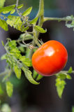 Fresh red tomato ready to pick Royalty Free Stock Photos