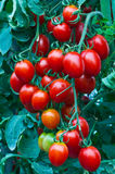 Fresh red tomatoes . Stock Photos